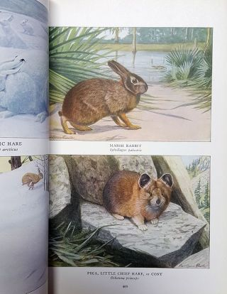 The National Geographic Magazine November, 1916 [with] The National Geographic Magazine May, 1918. (Include The Larger North American Mammals and Smaller North American Mammals with Illustrations by Louis Agassiz Fuertes).